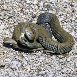 Serp verda o colobra bastarda, una de les serps no autòctones que ara són corrents a Sineu.