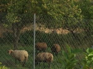 Guarda d'ovelles netejant el local del costat de sa Quintana (foto: Ajuntament de Sineu).