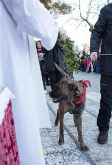 Enguany els cans eren majoria a les beneïdes. Foto Macià Puiggròs.